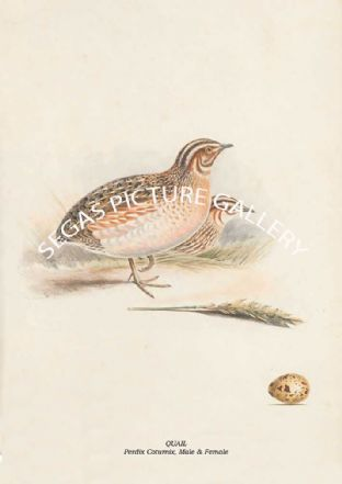 QUAIL - Perdix Coturnix, Male & Female